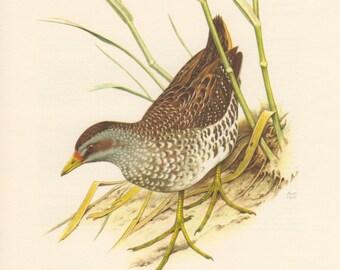 1957 Spotted Crake Bird Antique Print Vintage Lithograph, Porzana porzana, Crake Bird Illustration, Rallidae, Ornithology Print