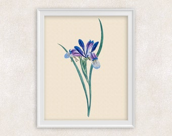 Iris Botanical Art Print - 8x10 PRINT Purple & Blue Antique Flower - Garden Prints - Illustration - Poster - Victorian Art - Item #150