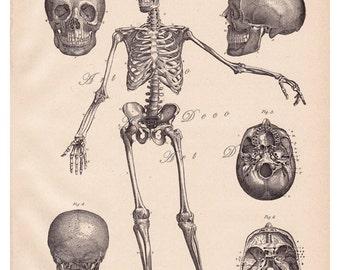 antique skeleton print with skull and bones, digital download no.  641
