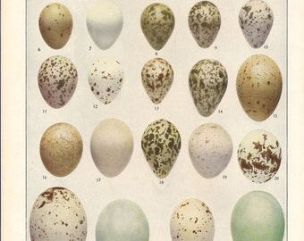 Eggs of American Birds Vintage Color Book Plate 2  / Birds Of America 1936 / Louis Agassiz Fuertes / Vintage Bird Eggs