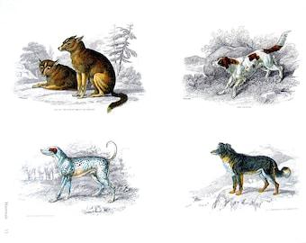 Animals - Dog, Dalmatian, St. Bernard, Mastiff, Hound - Jardine's Naturalist Illustrations - 2 Sided 1990's Book Page
