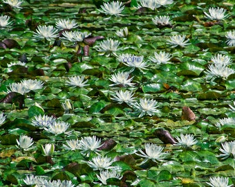 Waterlily Pond Flower Photography Nature Print White Water Lily Photo Blue Highlights Water Flower 11x14 Artwork Landscape Print Wall Decor