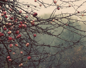 apple tree orchard landscape photography mist  fog woodland fine art photograph home decor hotel decor
