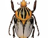 Scarab Beetle Illustration