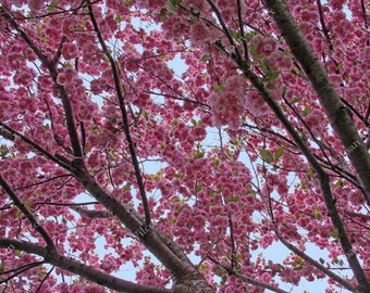 Brilliant Spring Canopy of Cherry Tree Blossoms Fine Art Photography Photo Print