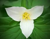 "Nature Photography ""White Trillium"" Spring Flower Photo, White Flower Art, Trillium Photo, Botanical Art, Minimal Wall Decor, Flower Print"