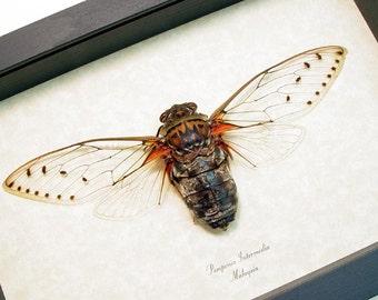 Real Framed Cicada Gossamer Wings Shadowbox Display 2113