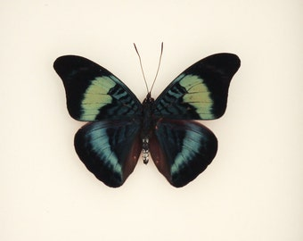 Real Framed Butterfly Display Panacea prola