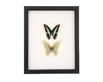 Real Skeleton Butterfly Double Butterflies Insect Taxidermy Cabinet of Curiosity