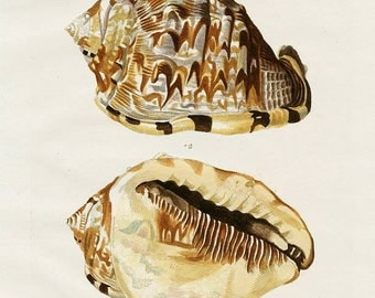 Instant Download  Knorr Brown  Taupe Sea Shell 8 x 10  You Print Digital Image