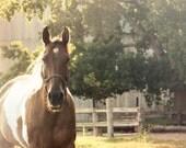 Horse Photograph - farm barn brown sunset golden country western farmhouse equine 8x10 ranch