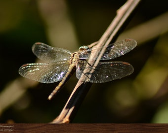 Dragonfly branch - nature macro -  A4 photography PRINT
