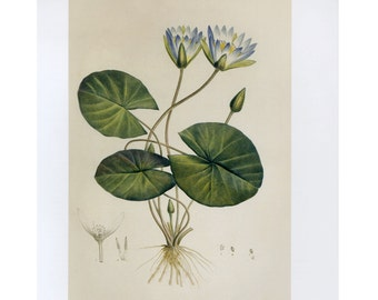 Redoute Blue Egyptian Lotus Print Botanical Book Plate SALE~~Buy 3, get 1 Free Book Plates
