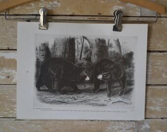 Vintage  Print or Plate  Audubon Drawing American Black Bear/Grizzly Bear 1954 Book