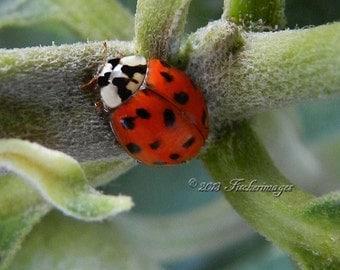 Red Ladybug Insect on Milkweed Wall Art Home Decor Fine Art Photography