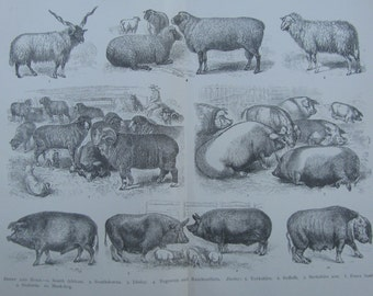SALE!SALE!SALE!!!Original Antique Print of Sheep and Hogs from the Cyclopedia International 1898
