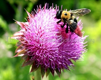 Thistle Flower and Bee Photographic Art Print - 5x7 Photograph