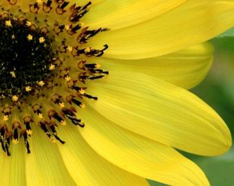 Sunflower Photographic Art Print - 5 x 7