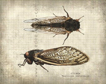Cicada Entomology Print - Vintage Style Original Photograph Illustration - Nature Specimen Distressed Aged Science Wall Art Book Plate