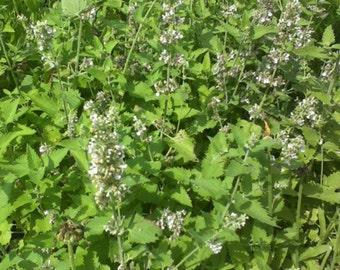 Catnip Seed-Organic Heirloom Herb Seed