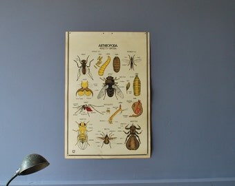 1940's Lithography Zoological Science Chart Fly