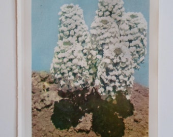 Vintage 1960s  Striking White Candytuft  Flower Book  Sweet   Faded Photo Book Plate