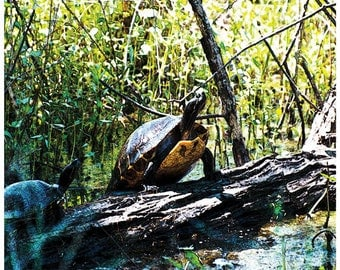 Nature Photograph, turtles, Louisiana, green room art, turtle photography, fine art print