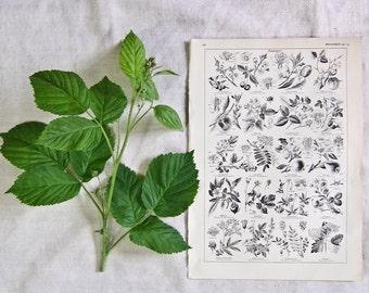 1920 French Botantical print FRUIT Berries Apples Pears