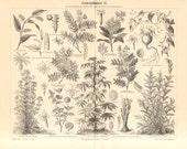 1890 Medical Plants II. Cubeb, Tamarind, Cinchona, Jalap, Garden Valerian, Diesel Tree, Strychnine Tree, Poison Nut, Liquorice Antique Print