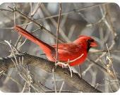 """3"""" x 3"""" 'Cardinal' Photo"""