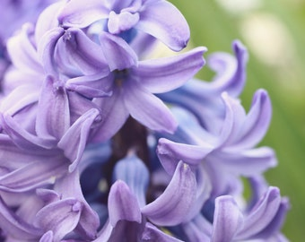 Purple Hyacinth Photo, Purple Flower Photography, Spring Flower Photo, Nature Photography, Garden Art, Floral Wall Decor, Abstract Flower