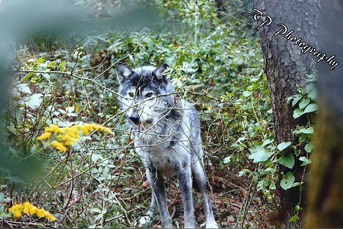 Wolf Photography Camouflage