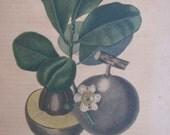 Original Antique (1853) Botanical Print by Drapiez