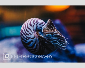 Nautilus. Fine Art Giclée Canvas Wrap