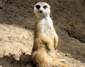 Printable Meerkat Pictures Related Keywords & Suggestions - Printable ...