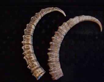 "36"" Ibex horn casts"