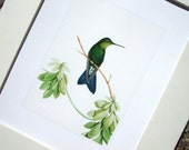 Hummingbird with Emerald Green Feathers Naturalist Drawing Archival Quality Print