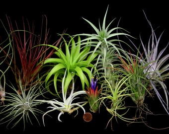 10 Different and Easy to Grow Tillandsias -Collection 1-Free Priority Mail Shipping