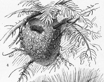 Bird's nests print  bird dwellings print ornithology natural history : Antique 1890s engraving old bookplategift for bird lover bird watcher