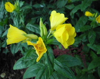 Bare-Root Bulk Evening Primrose Plants