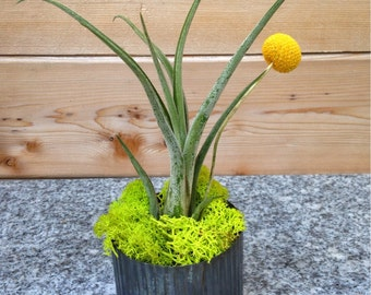 Industrial Urban Chic Zinc and Air Plant Living Art  Arrangement - A Perfect Fathers Day Gift