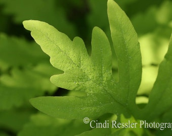 Photo, Fern, Photography, Nature Lover, Botanical, Garden, Woodland, Housewarming Gift, Living Room Decor, Bedroom Decor, Fine Art, Gift