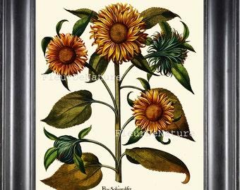 BOTANICAL PRINT Besler 8x10 Botanical Art Print 28 Beautiful Yellow Sunflower Summer Nature Wildflower Antique Writing to Frame Flower