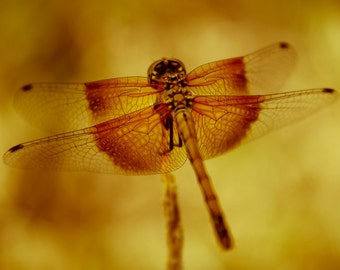 Dragonfly Photography, Dragonfly Wings
