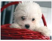 Maltese Puppy Greeting Note Cards & Envelopes Set