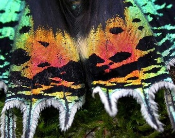 Moth Madagascan sunset moth (Chrysiridia rhipheus) wholesale 60 for 93.00 that's 1.55 each