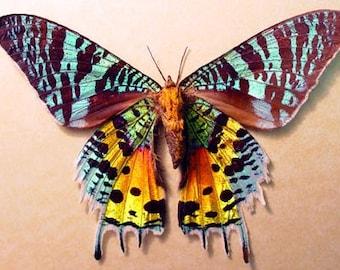 Moth Madagascan sunset moth (Chrysiridia rhipheus) 40 sunset moths at 1.65 each = 66.00