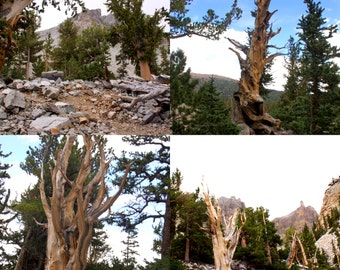 """Set of 4 5.5"""" by 4.25"""" original photo notecards from my BristleConePine Series"""