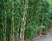 Box of 3 Fargesia nitida 'Blue Fountain' hardy clumping live bamboo plant #1 size.