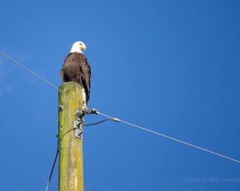 Bald Eagle Print - Gift for Him ~  Nature Photography ~  Blue Sky Photo ~ Summer ~ Hunting Bird on a Wire ~ Fine Art Print, Home Decor, fPOE